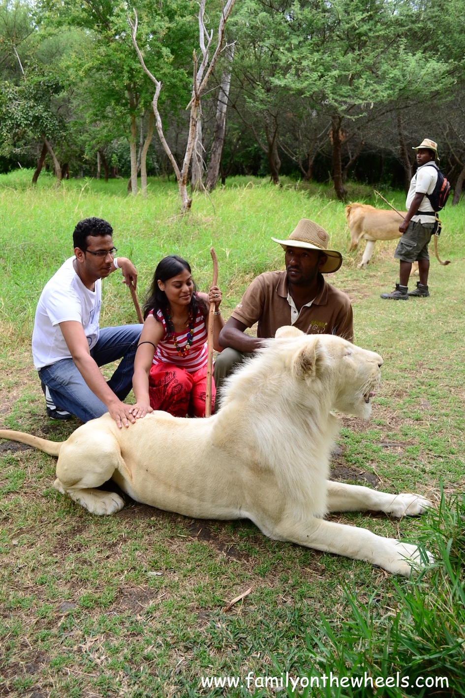 Walking with lions, mauritius