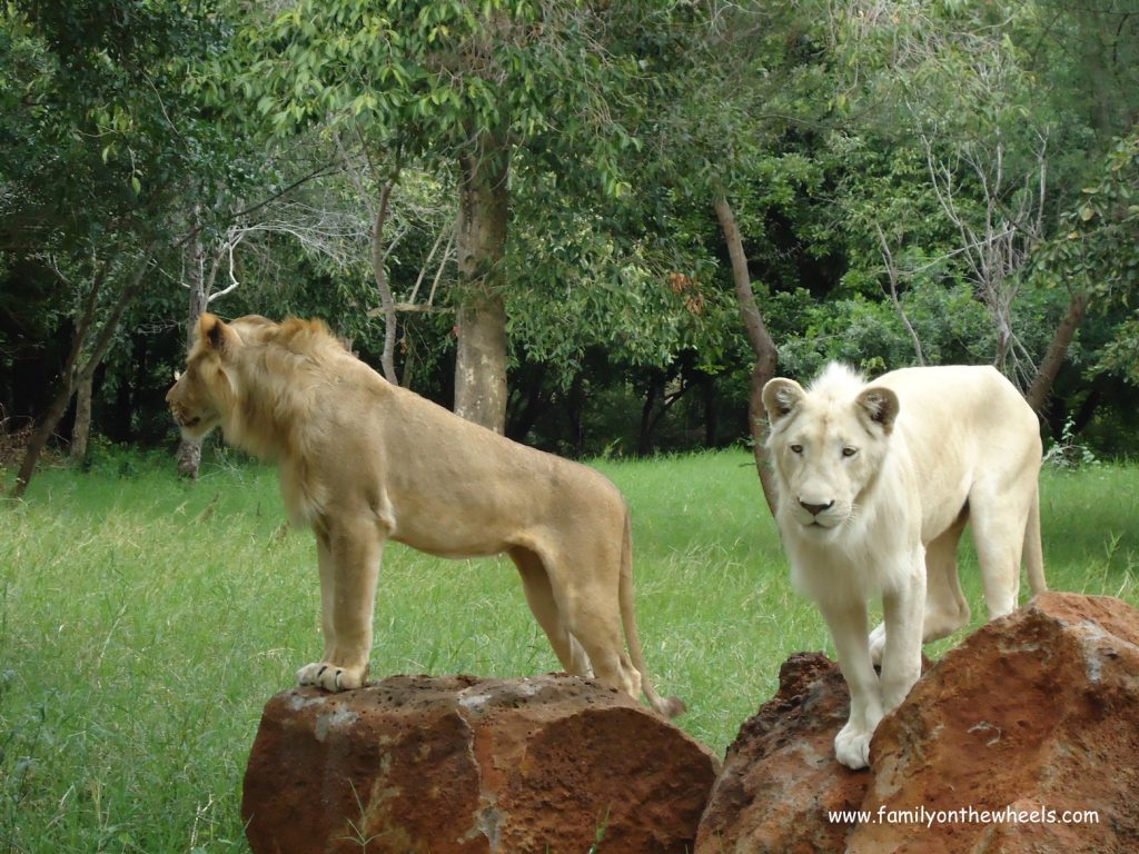 Encounter with Lion safari Mauritius
