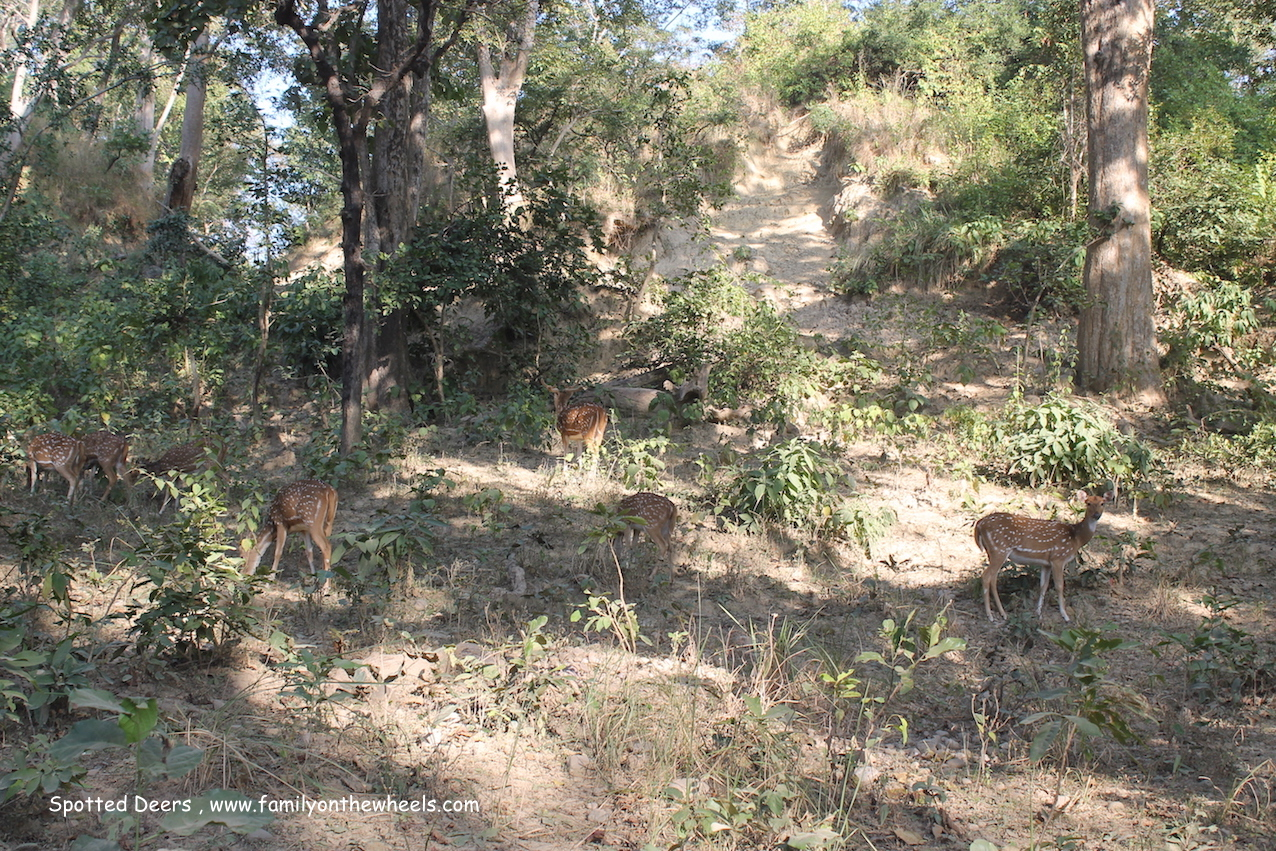Spotted dears at Jim corbett National Park